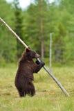 Brown bear standing Royalty Free Stock Image
