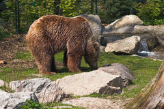 Brown bear standing on the lawn near the brook. Brown bear standing on the lawn nearby the rocky brook. Berlin Zoo, Germany Stock Images
