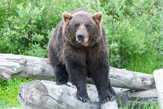 Brown Bear. A brown bear standing on a log Royalty Free Stock Photography