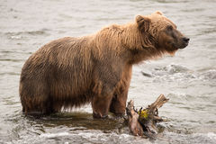 Brown bear standing beside log in river Royalty Free Stock Photo