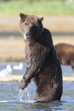 Brown bear standing looking at photographer. Brown bear standing and looking for fish Royalty Free Stock Photos