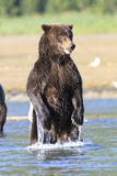 Brown bear standing in river in Alaska Royalty Free Stock Images