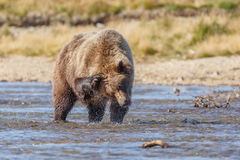 Brown bear standing in a river at Katmai Alaska Royalty Free Stock Photo