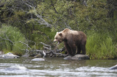 Brown bear standing on rock Stock Photos