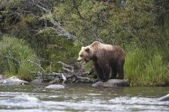 Brown bear standing on rock. Near Brooks River, Alaska Stock Photos