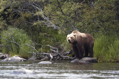 Brown bear standing on rock. Near Brooks River, Alaska and keeping an eye on me Stock Images