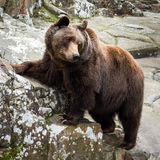 Brown Bear standing on a rock Stock Images