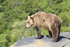 Brown bear standing on rocky ledge. Brown bear looking over rocky ledge Stock Images