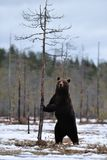 Brown bear standing Stock Photos