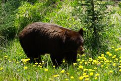 Brown bear standing surrounded with yellow dandelions.  royalty free stock image