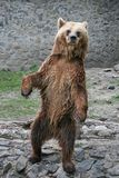 Brown bear standing. In Timisoara Zoo, Romania Royalty Free Stock Image