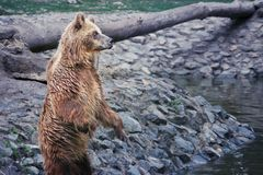 Brown bear standing. In Timisoara Zoo, Romania Royalty Free Stock Images