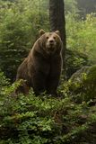 Brown bear standing on top of a hill in the woods and looking forward Royalty Free Stock Image