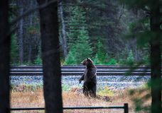 Canadian Brown Bear standing Stock Photo