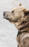 Brown bear stands on its hind feet. Brown bear stands and looks ahead royalty free stock photos
