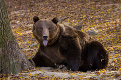 Brown bear sticking its tongue out Royalty Free Stock Photography