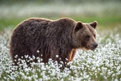 Brown bear in the summer forest on the bog among white flowers. stock image