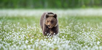 Brown bear in the summer forest on the bog among white flowers. Front view. Natural Habitat. Brown bear, scientific name: Ursus royalty free stock photography