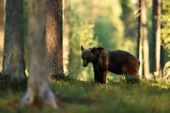 Brown bear in summer forest Royalty Free Stock Photos