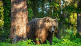 Brown bear in the summer forest. stock photos