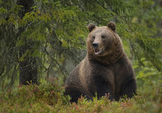 Brown bear in summer forest Royalty Free Stock Photography