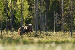 Brown bear in summer landscape. Brown bear at sunny forest. Bear at the sun Royalty Free Stock Image