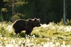 Brown bear at summer in bog Royalty Free Stock Photos