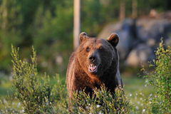 Brown Bear in the sun. Brown Bear in the evening sun Stock Photos