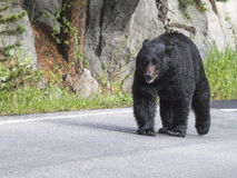 Brown Bear. On a Sunday stroll down the highway; Yellowstone National Park Royalty Free Stock Images