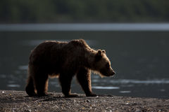 Brown bear at sunrise. Brown bear is on the shore of the lake at sunrise Royalty Free Stock Photos