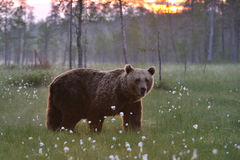 Brown bear and the sunset Stock Photo
