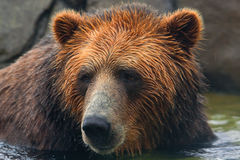 Brown bear swimming Royalty Free Stock Photos