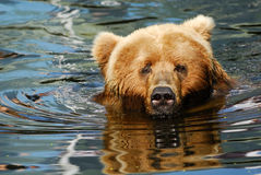 Brown bear swimming Royalty Free Stock Image