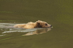 Brown bear swimming Royalty Free Stock Images