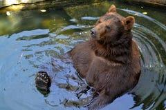 Brown bear royalty free stock photos