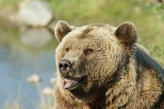 brown bear szczęśliwy Fotografia Royalty Free