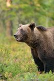 Brown bear in taiga Stock Photos