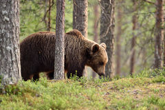 Brown bear in taiga forest Stock Photography