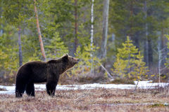 Brown bear in the taiga. Wild brown bear walking in the taiga in late winter Stock Photos