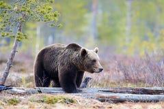 Brown bear in the taiga Stock Photo