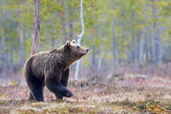 Brown bear in the taiga royalty free stock photography