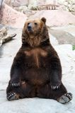 Brown bear takes a rest stock photo