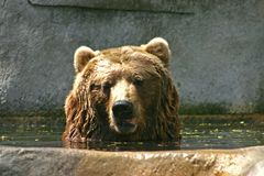 Brown Bear Taking A Bath Stock Image