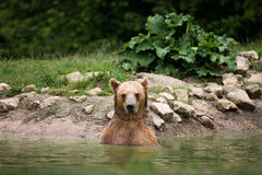 Brown bear taking a bath in the lake Royalty Free Stock Photo