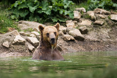 Brown bear taking a bath in the lake Royalty Free Stock Images