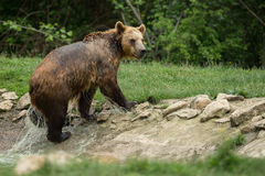 Brown bear after taking a bath Stock Images