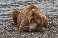 Brown Bear Taking a Nap Royalty Free Stock Images