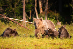 Brown bear with three cubs in forest in Finland Stock Images