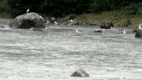 Brown Bear - It Is Time For Lunch! stock video footage
