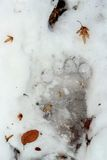 Brown bear trace in ice Royalty Free Stock Images